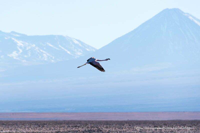 flamenco volando con volcán nevado detrás salar de atacama