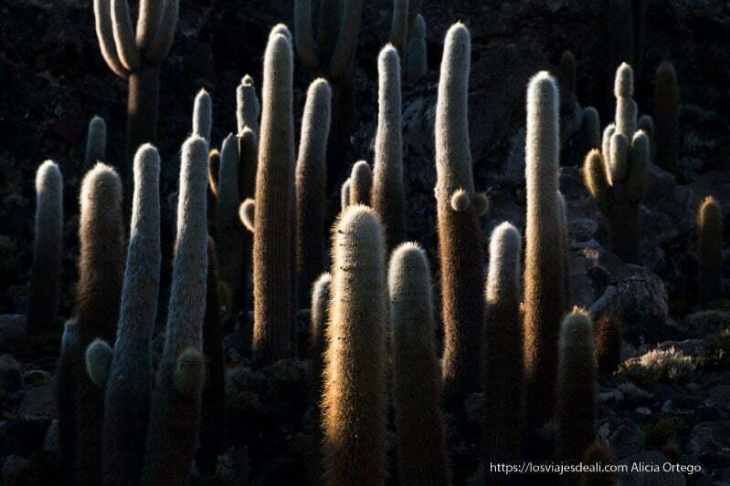 grupo de cactus gigantes entre sol y sombra en la isla de incahuasi
