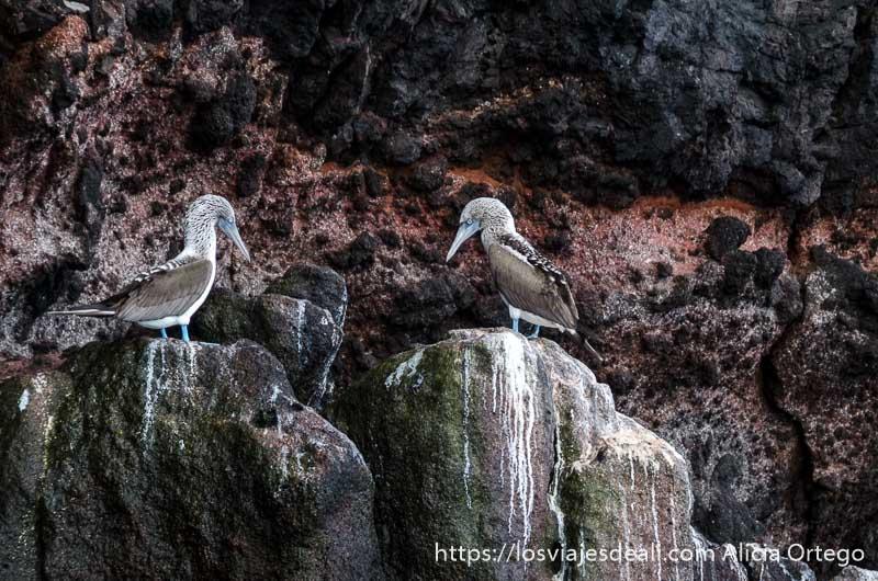 dos piqueros de patas azules en unas rocas