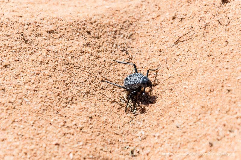 escarabajo con patas largas y cuerpo gris con puntitos negros fauna y flora del desierto del sahara