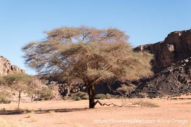gran acacia de pinchos del sahara