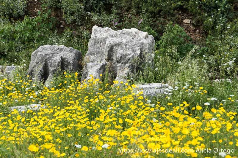 viajar a líbano en primavera es encontrar campos de flores amarillas como este en un yacimiento arqueológico