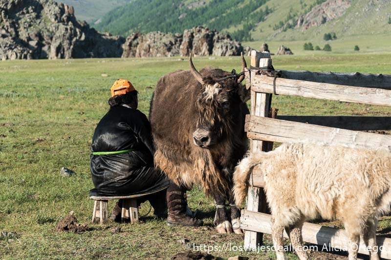 mujer sentada ordeñando un yac que es como un toro y paisaje de montaña detrás en mongolia