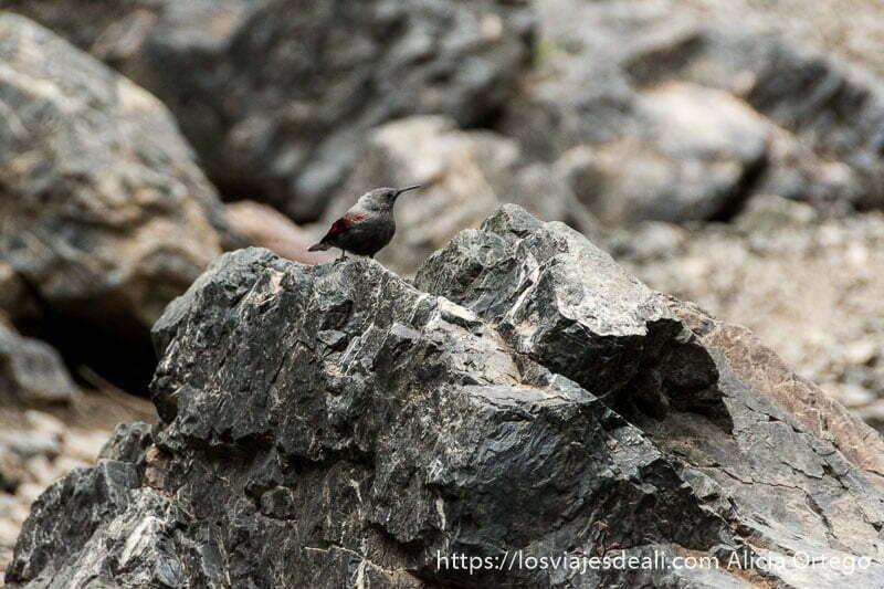 pájaro de pico largo con color gris y plumas rojas en las alas sobre rocas grises en el cañón de yol am