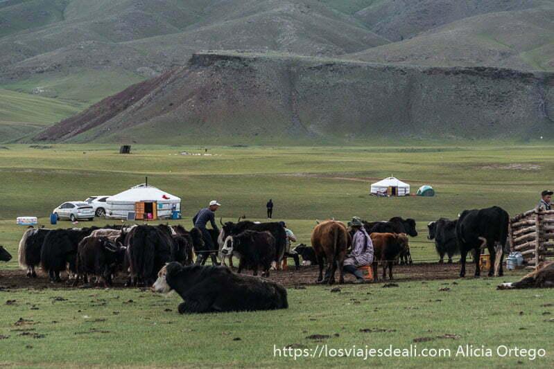 nómadas ordeñando a sus vacas con tiendas blancas enmedio de las praderas del valle de orkhon