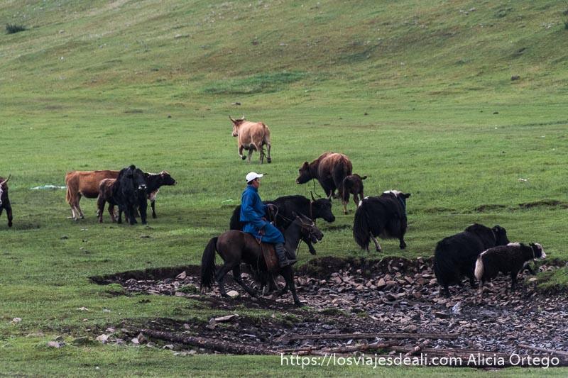 nómada mongol en su caballo con traje azul guiando a rebaño de yacs y vacas