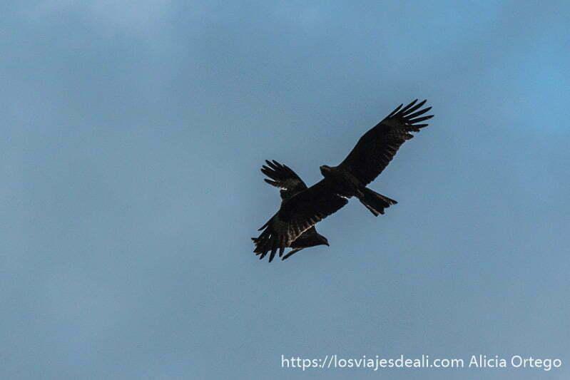 dos águilas se cruzan en el cielo