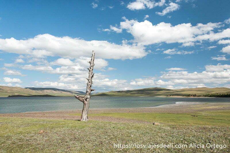 tronco de árbol seco recto junto al lago zuun nuur y cielo azul con nubes blancas en un lugar de mongolia