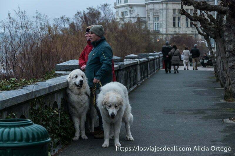 pareja con dos perros blancos muy grandes que les llegan casi a la cintura en el paseo junto al mar en biarritz