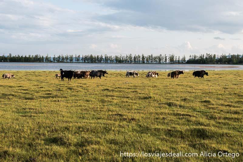 rebaño de yacs andando por la hierba con lago khovsgol detrás y fila de árboles