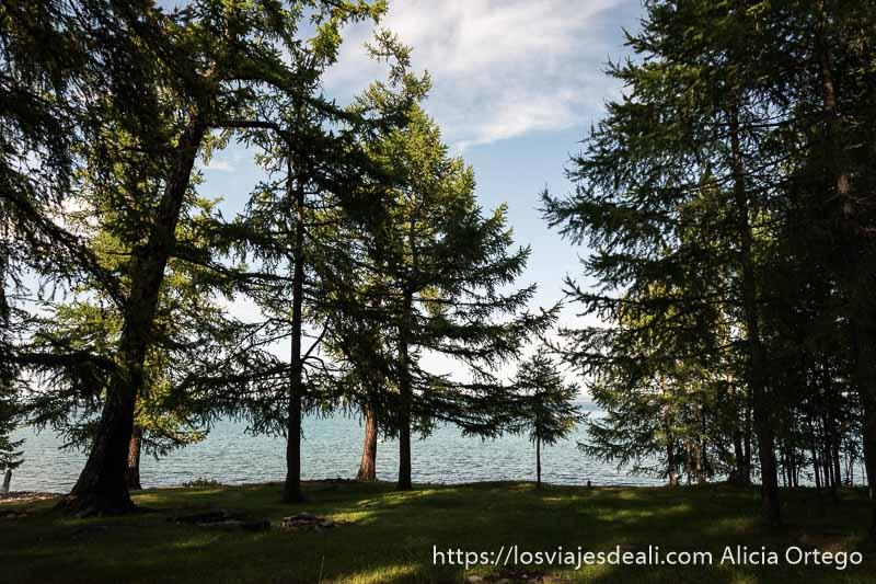 árboles tipo abetos con el lago khovsgol al fondo