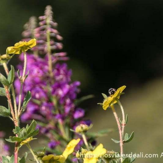flores amarillas con una abeja en una de ellas y al fondo desenfocada flores rosas junto al lago khovsgol