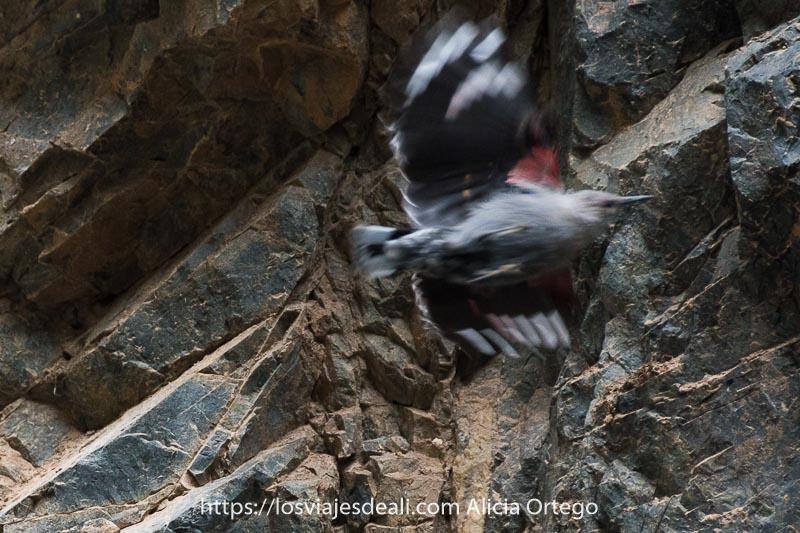 pájaro gris con plumas rojas negras y blancas en las alas y un pico largo y puntiagudo llamado treparriscos