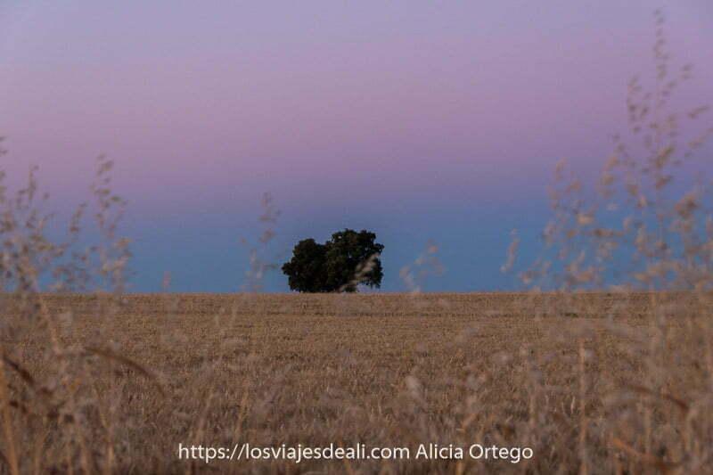 fotos del verano amanecer con cinturón de Venus que es franja de cielo rosado y azul cerca del horizonte sobre campo de cereal