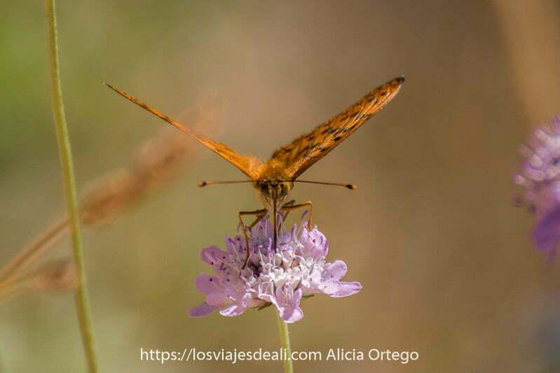 mariposa de frente con alas naranjas con dibujo negro desplegadas libando en flor malva