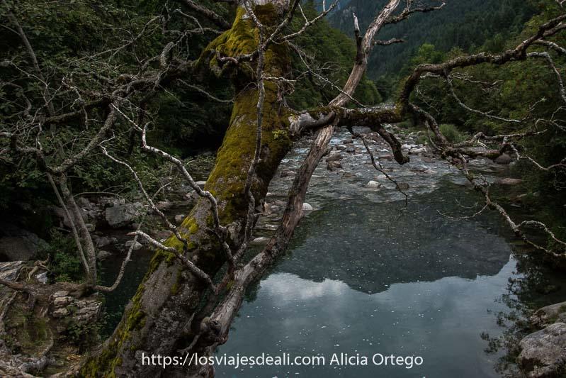 árbol seco con ramas retorcidas y musgo en el tronco inclinado sobre el río Ara que refleja una montaña