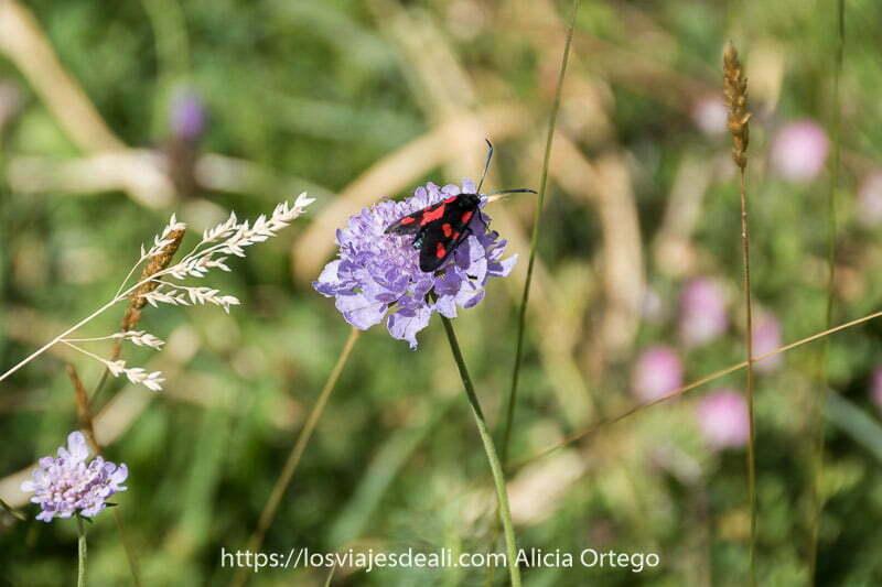 insecto tipo mariposa con alas de color negro y manchas rojas, sobre flor malva