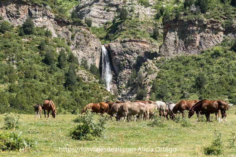 caballos y vacas agrupados en el prado de los llanos de la larri con la cascada al fondo