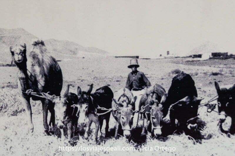 foto antigua de campesino de fuerteventura con varios asnos y un camello tirando de su arado