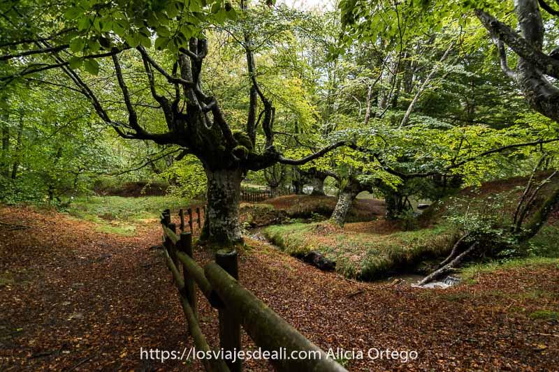hayas con ramas retorcidas y valla de madera haciendo curva siguiendo arroyo