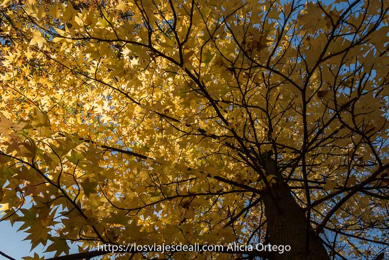 árbol con hojas amarillas y sol entrando por la izquierda visto desde abajo en el jardín del príncipe de Aranjuez