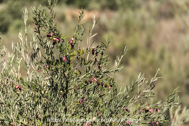 ramas de un olivo cargadas de aceitunas de color rojo