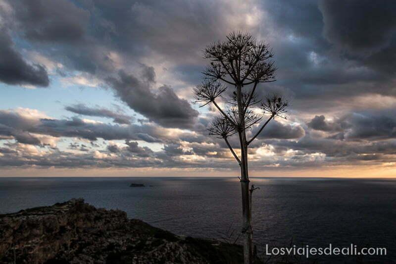 planta seca con flores en forma de abanico y el mar con nubes al atardecer en los acantilados de dingli