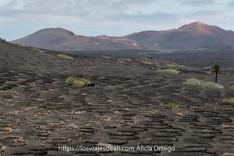cultivos de vid en la Geria con volcanes rojizos al fondo