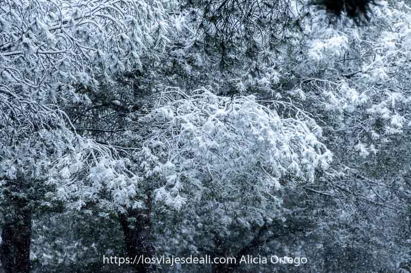 ramas de pino llenas de nieve en madrid