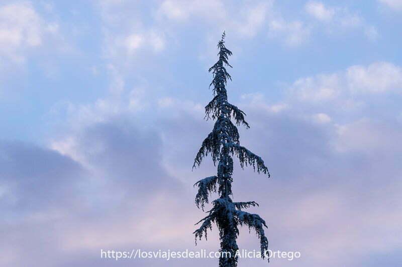 pino estrecho y muy alto con restos de nieve y detrás nubes rosadas de atardecer