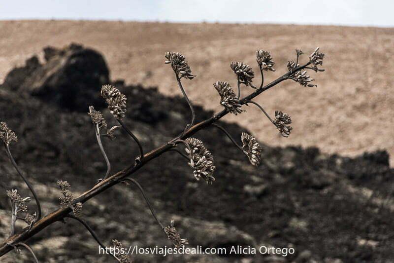 planta inclinada de derecha a izquierda con ramas y pequeñas hojas en cada una