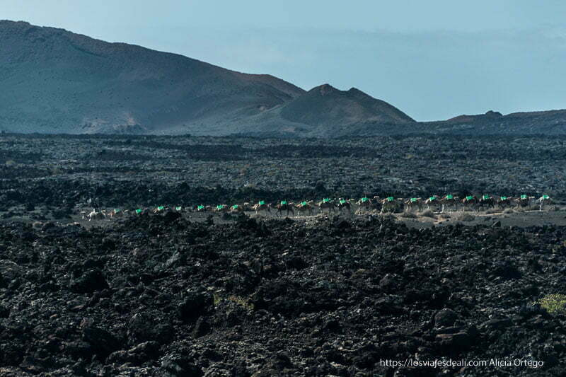 camellos en fila con sillas verdes caminando por un sendero entre mares de lava negra