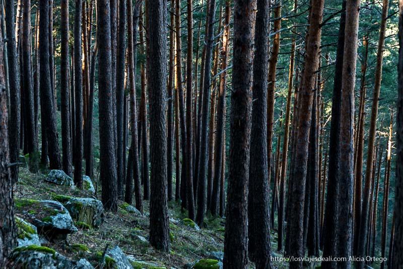 bosque de pinos con troncos rectos muy altos y un rayo de sol atravesándolo en oblicuo