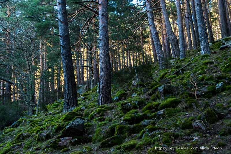 ladera de monte con piedras cubiertas de musgo verde y pinos con luz del sol al fondo