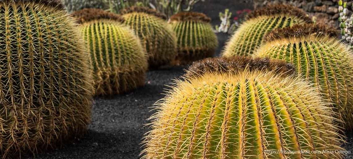 """cactus """"asiento de la suegra"""" del Jardín de cactus de Lanzarote"""
