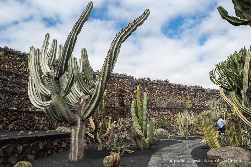 camino de piedras con muros de lava y gradas y cactus grandes como árboles con forma de candelabro