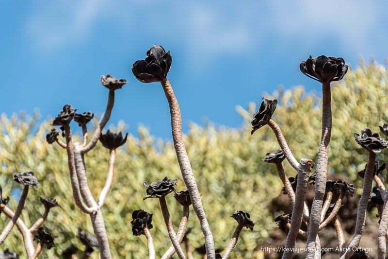 rosas negras del jardín de cactus de lanzarote