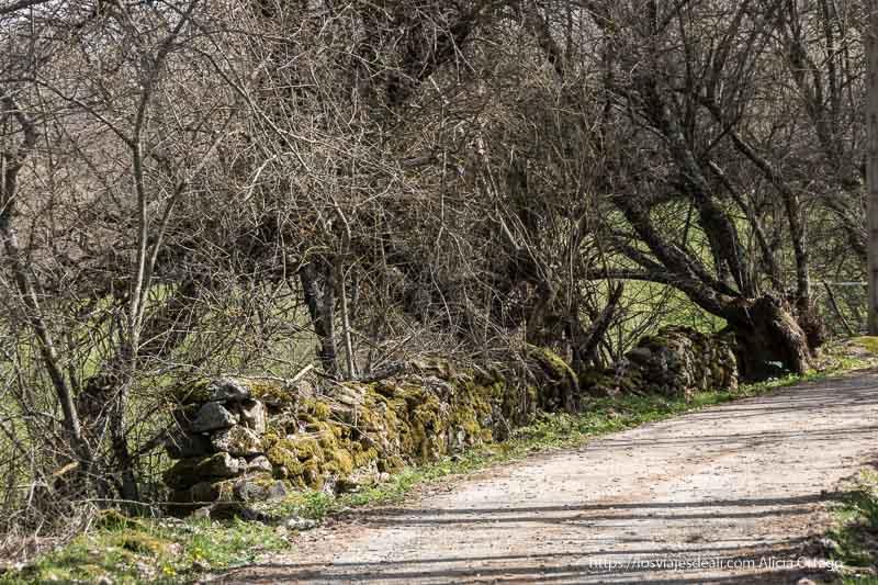 camino con valla de piedra cubierta de musco y árboles enmarañados