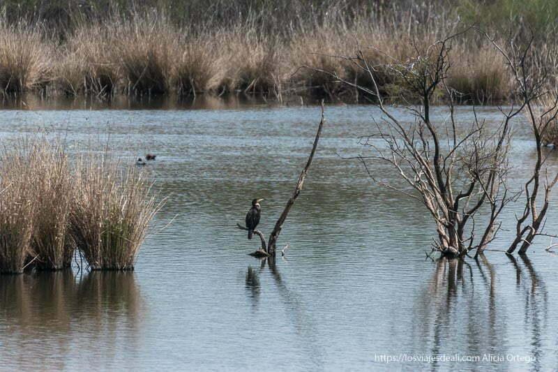 cormorán posado en rama seca sumergida en humedal