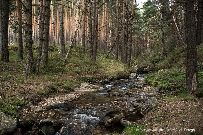 arroyo entre pinares en la ruta a la cascada cancho del litero