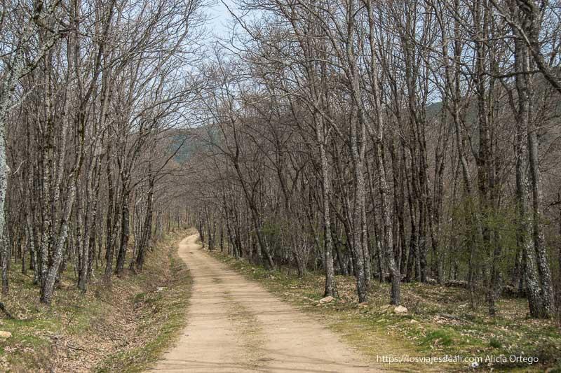 sendero ancho entre bosques de rebollos jóvenes