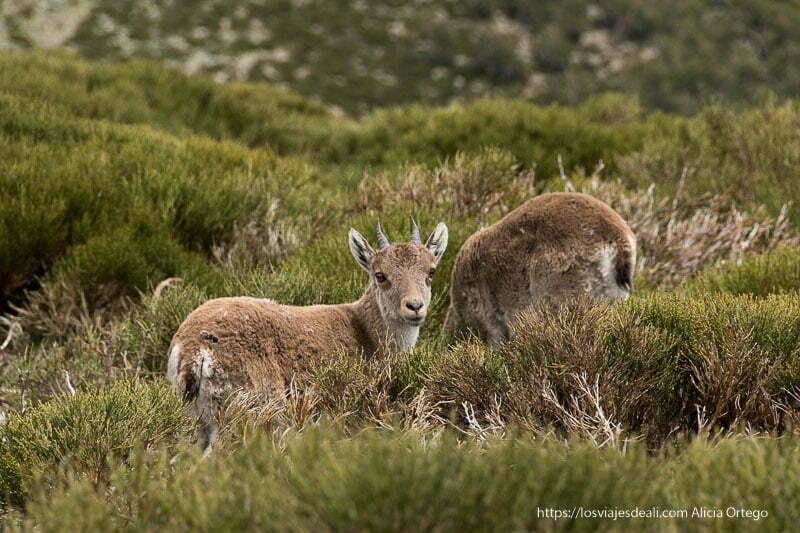 cabra montés pequeña con dos pequeños cuernos girada mirando a cámara entre matorrales