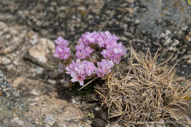 flores moradas creciendo entre piedras en la pedriza