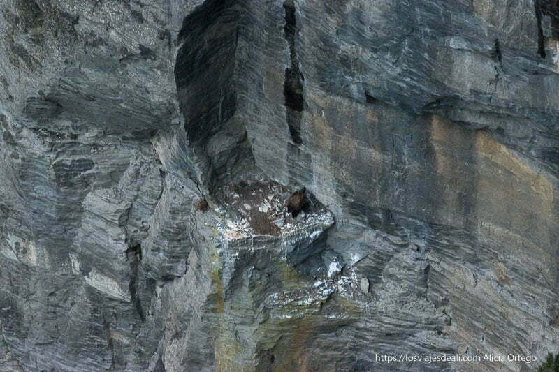 buitre leonado posado en un saliente de roca