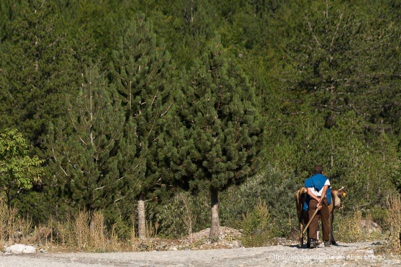 hombre llevando a su vaca a pastar por el camino entre árboles