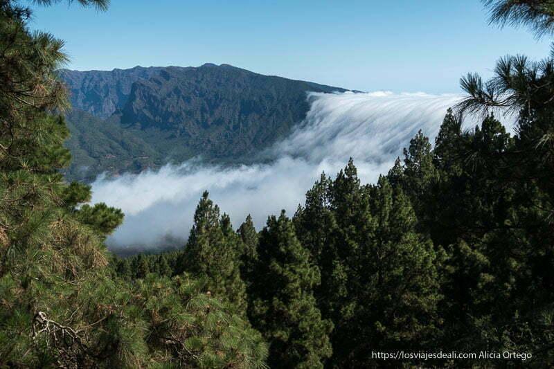 cascada de nubes cayendo por ladera de montaña y bosque de pinos en primer plano en la isla de la palma