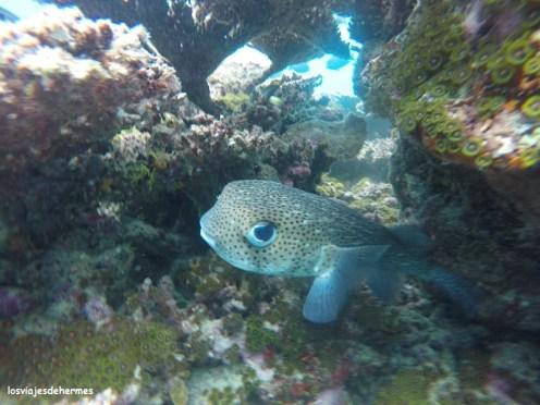 Curioso pez globo