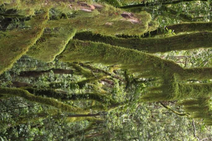 -Bosques de Laurisilava, Reventón Oscuro. Garajonay-