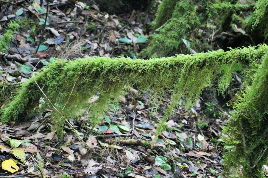 Detalle del musgo que recubre los árboles de Laurisilva. Raso de la Bruma.La Gomera