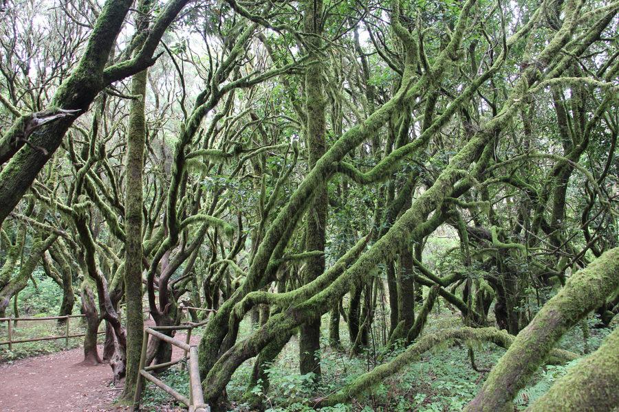 -Bosque de Laurisilva, Laguna Grande-